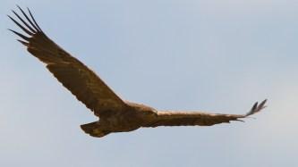 Aigle pomarin, Lesser Spotted Eagle, Clanga pomarina, faune, Slovaquie