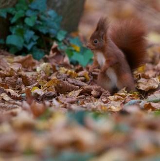 Ecureuil roux+sciurus vulgaris+european red squirrel+parc+Sceaux+Paris+nature+feuilles mortes