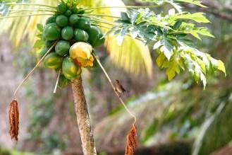 Moqueur grivotte, Scaly-breasted Thrasher, Allenia fusca, Grand'Rivière, Martinique
