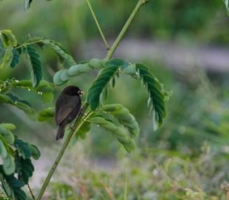 Sporophile cici, Black-faced Grassquit, Tiaris bicolor, Martinique