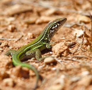 Lézard Tyrrhénien, Tyrrhenian wall lizard, Podarcis tiliguerta, Porto Conte, Sardaigne, Sardinia, Sardegna