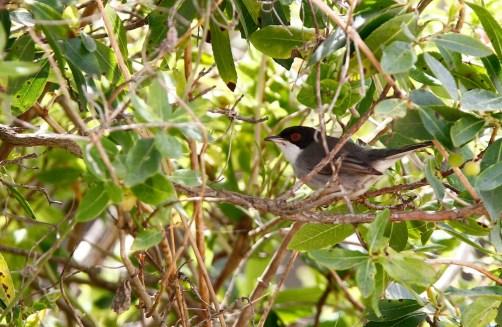 Fauvette mélanocéphale, Sardinian Warbler, Sylvia melanocephala, Lago di Baratz, Sardaigne, Sardinia, Sardegna
