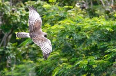 Busard de Gould, Swamp Harrier, Circus approximans, Tahiti
