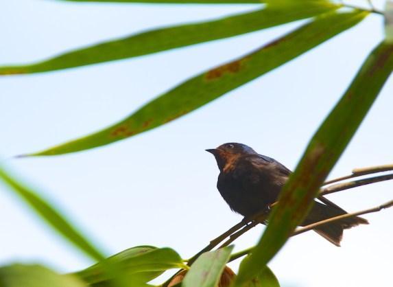 Hirondelle de Tahiti, Pacific Swallow