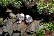 fulmar, oiseaux, nid, islande
