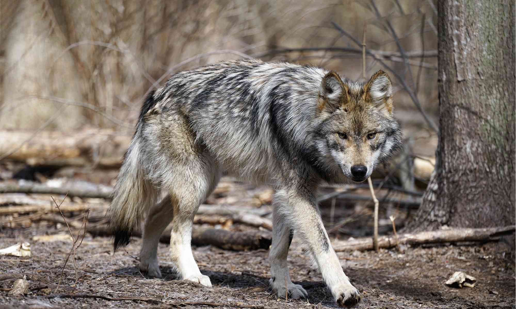 More on Wildlife Services' sketchy depredation reports blaming Mexican wolves for livestock kills
