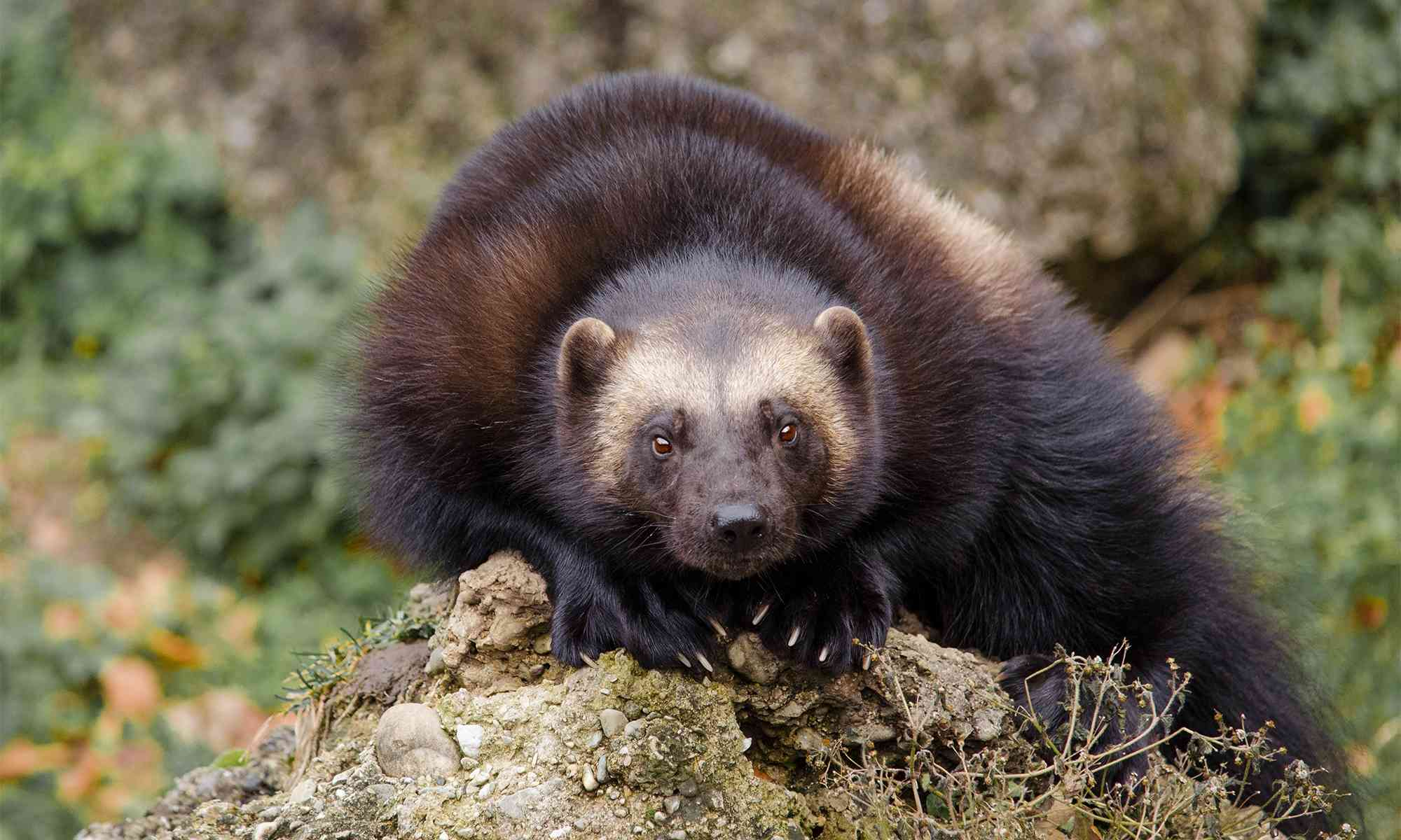 Endangered animals in the deciduous forest include the american bald eagle, coyote, and several others. Wolverine Defenders Of Wildlife