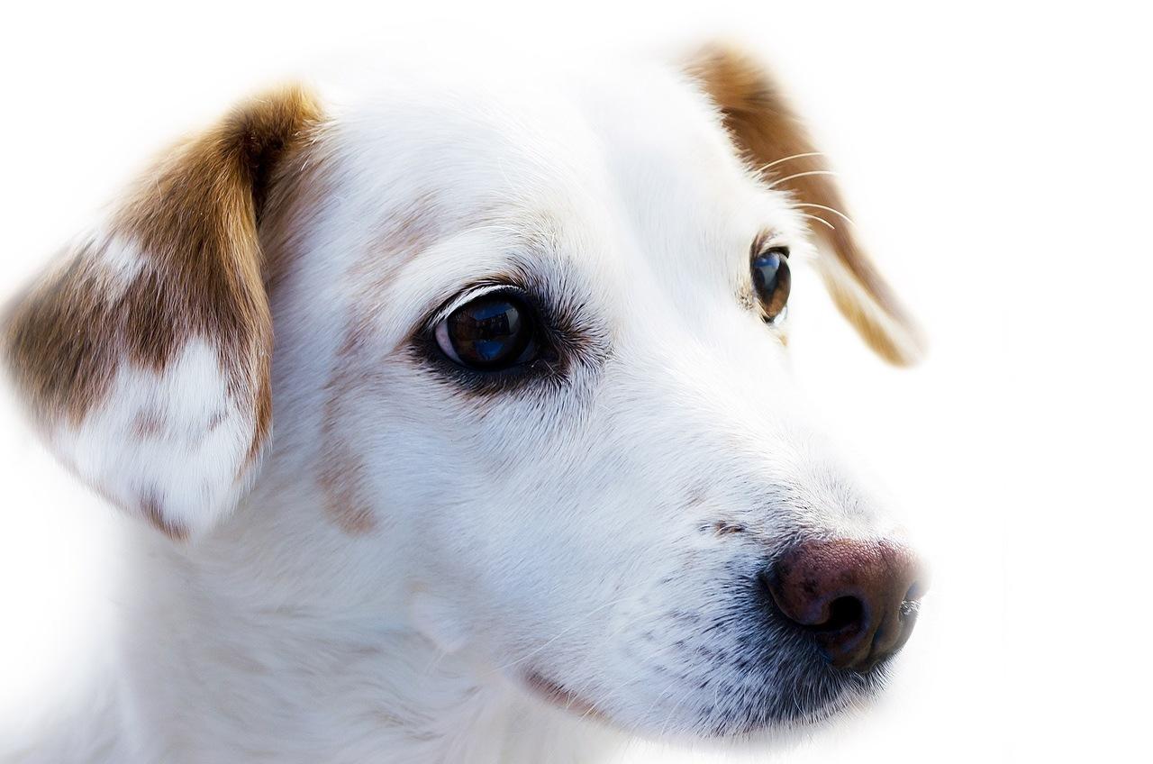 cachorro branco e marrom em close up