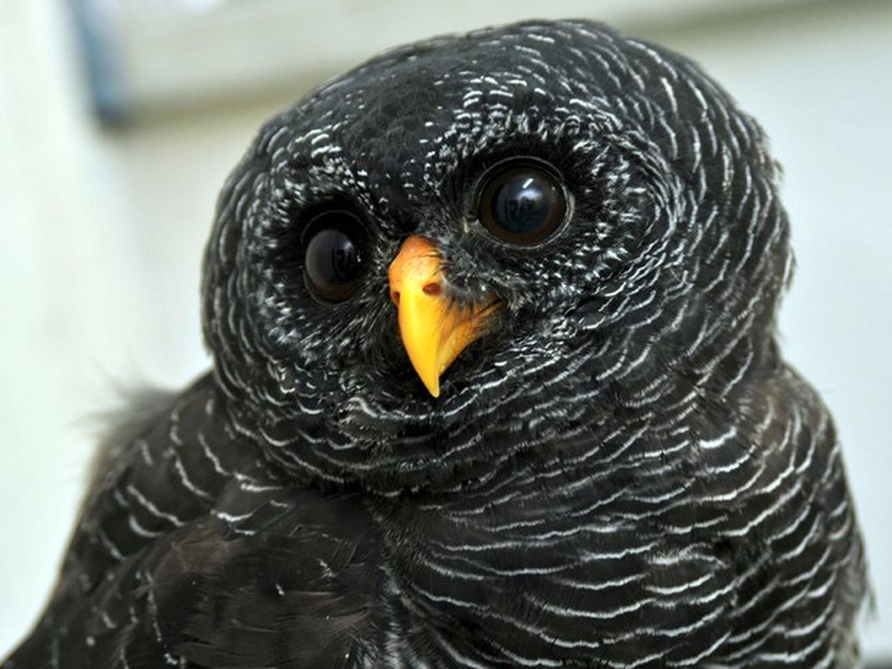 Coruja-preta de perto