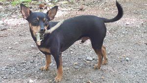 Flash info – Tenez vos chiens en laisse sous peine de forte amende – Alain Van Herck