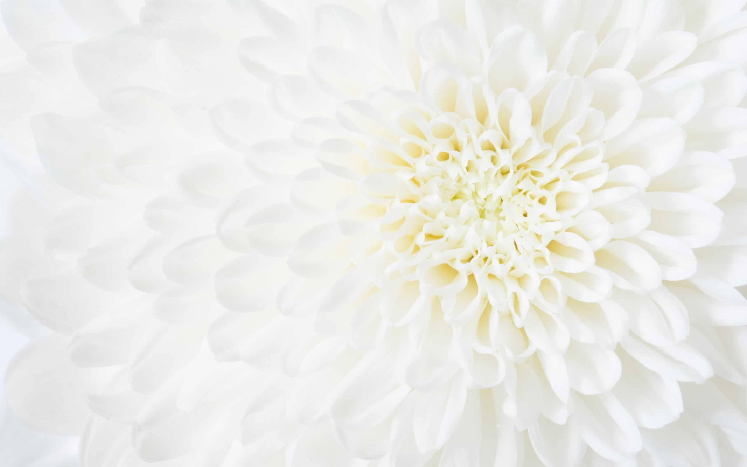 白菊の写真(哀悼の意を込めて)