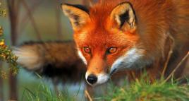 14.03 – Conférence : protéger les renards ! 🦊