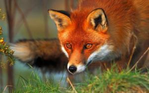 20.05 – 19h – Visioconférence – Cohabiter avec le renard en ville