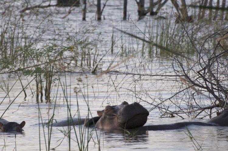 nijlpaard water safari groeiblog