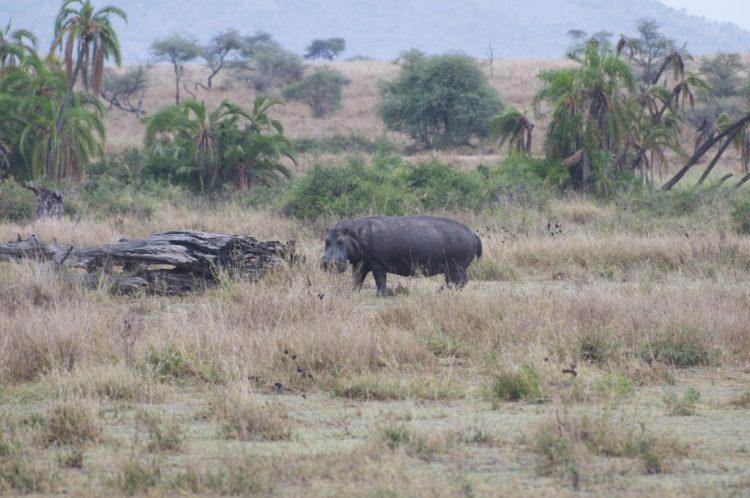 Nijlpaard safari groeiblog