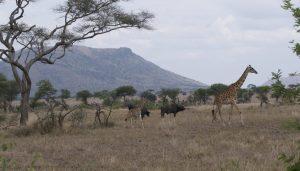 Giraffen en Buggels Safari Groeicoach