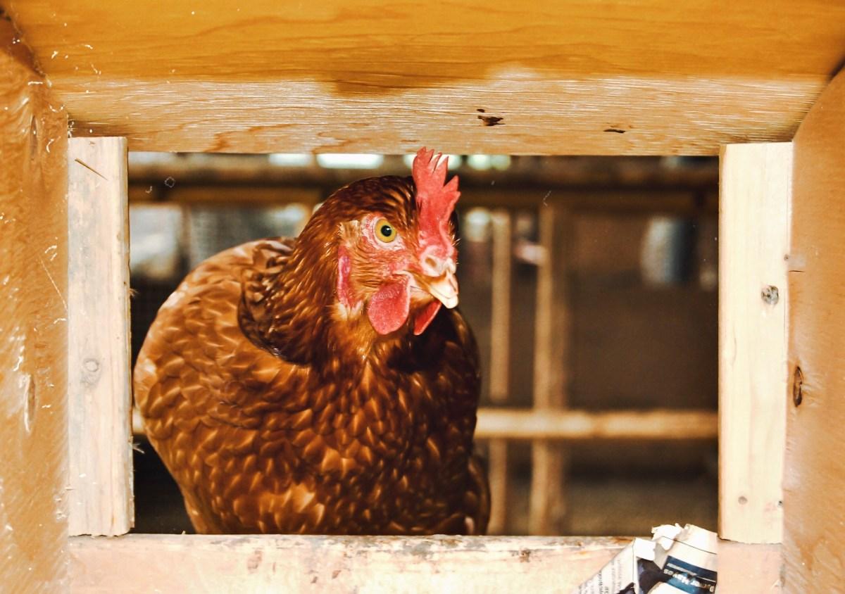 Hoe word ik veganist? Wat is er dan mis met eieren?