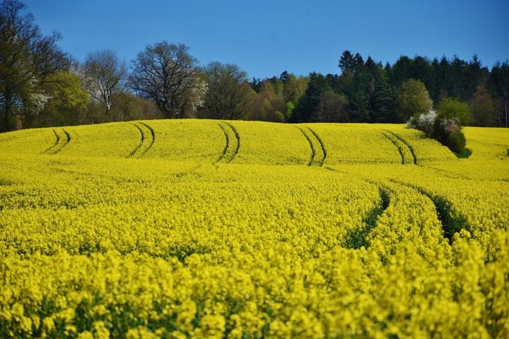 oilseed-rape-1344348_1920