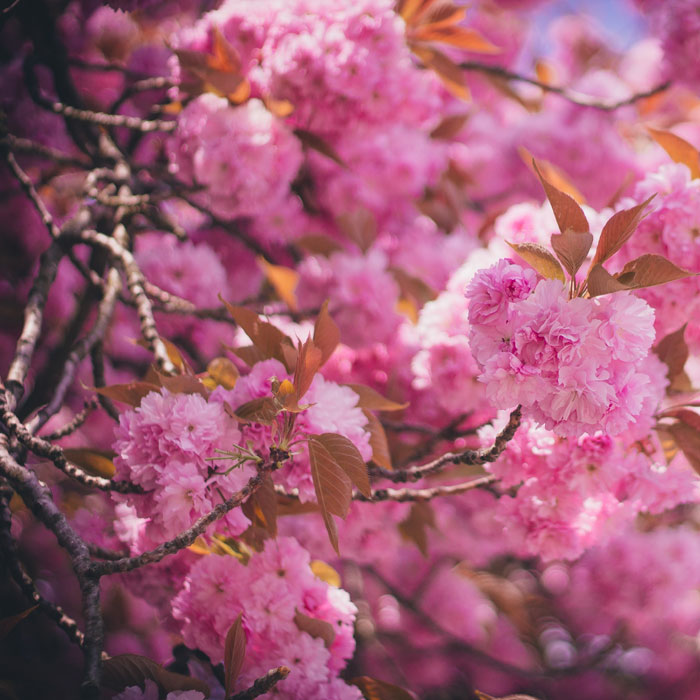 Foto, gefüllte rosa Kirschblüte, Nelkenkirsche, Prunus serrulata 'Kanzan'