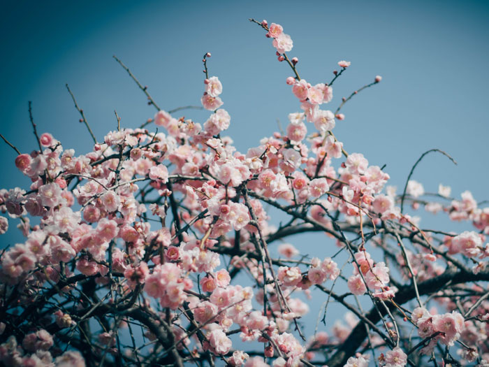 Foto von hellrosa gefüllten Kirschblüten