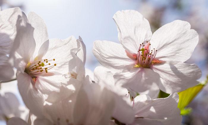 Foto einer weißen Kirschblüte, ungefüllt. Prunus avium