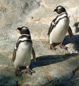 penguins_pointing
