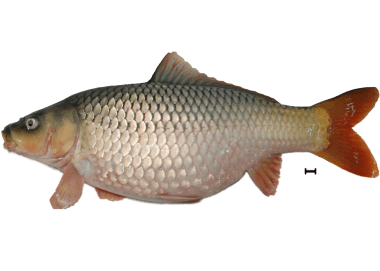 Ikan-Mas-betina5r-1350x963