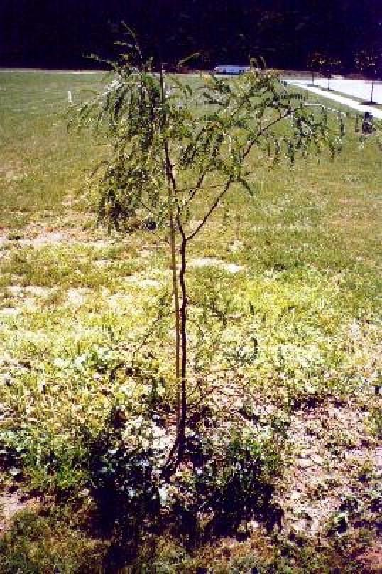 'George' tree