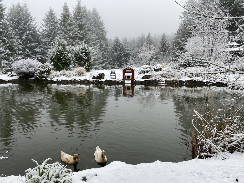 Ducks with snowy pond banks