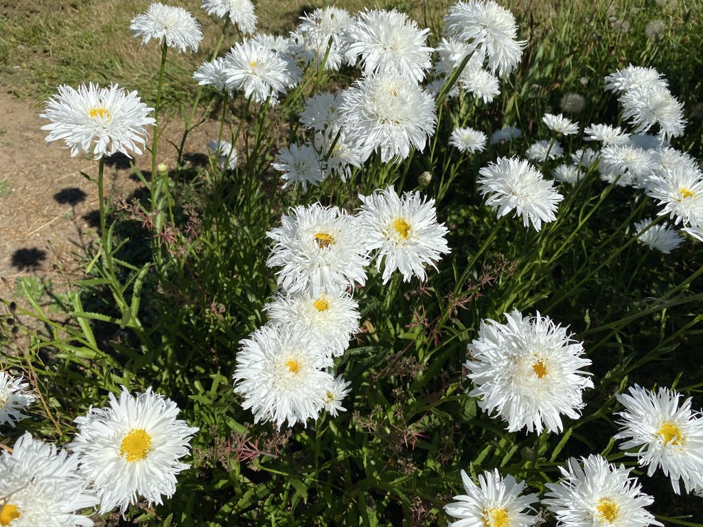 Frazzled daisies