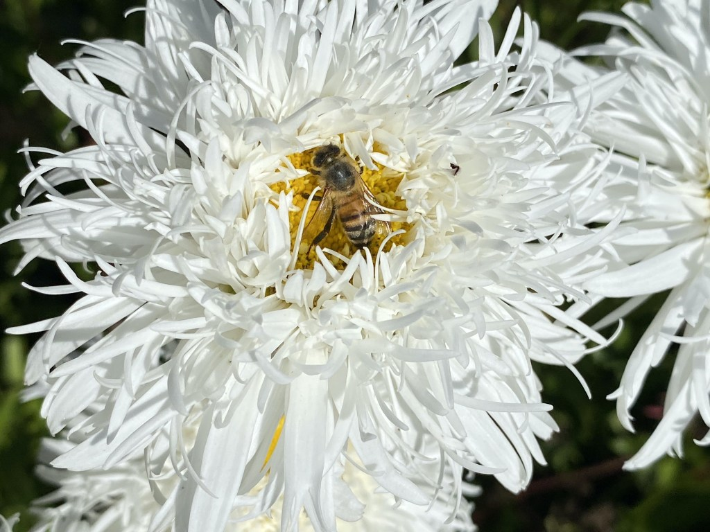 Bee on frazzled daisy