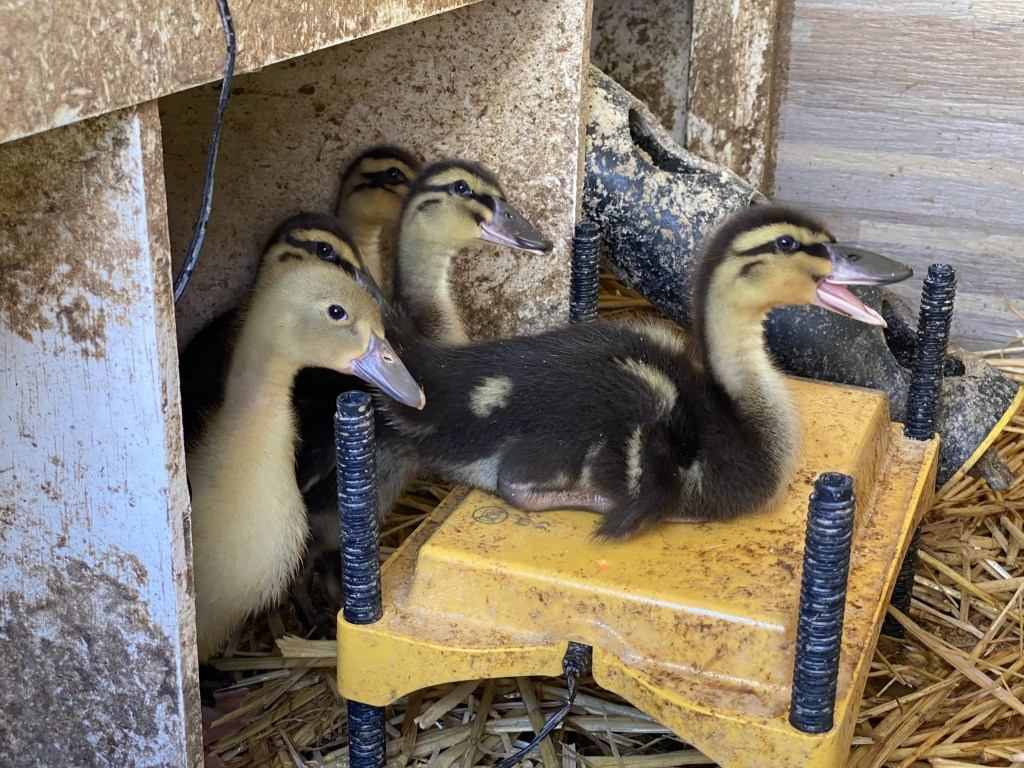 Duckling on EcoGlow