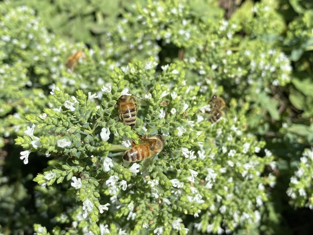 Greek oregano and bees