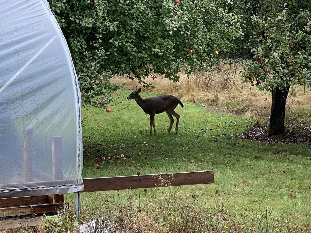 Deer below apple trees