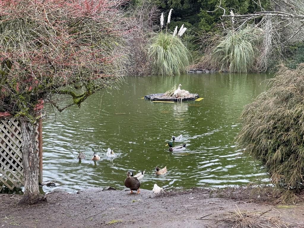 Duck on island