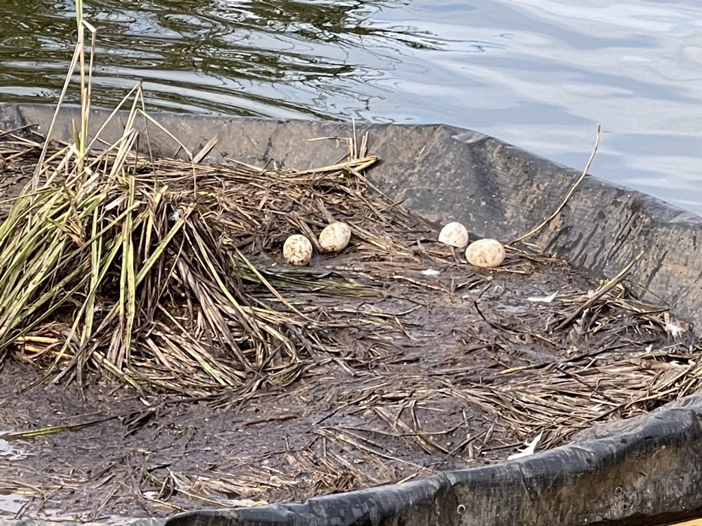 Duck eggs on the island