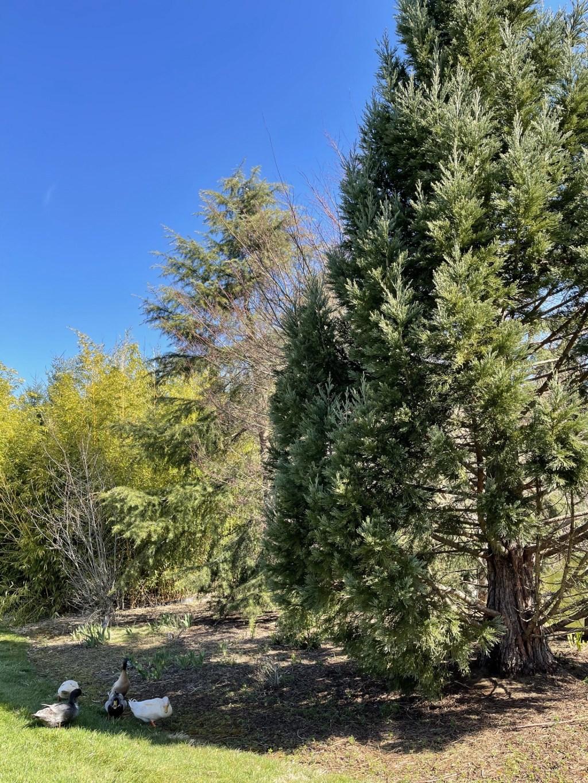 Redwood tree and ducks