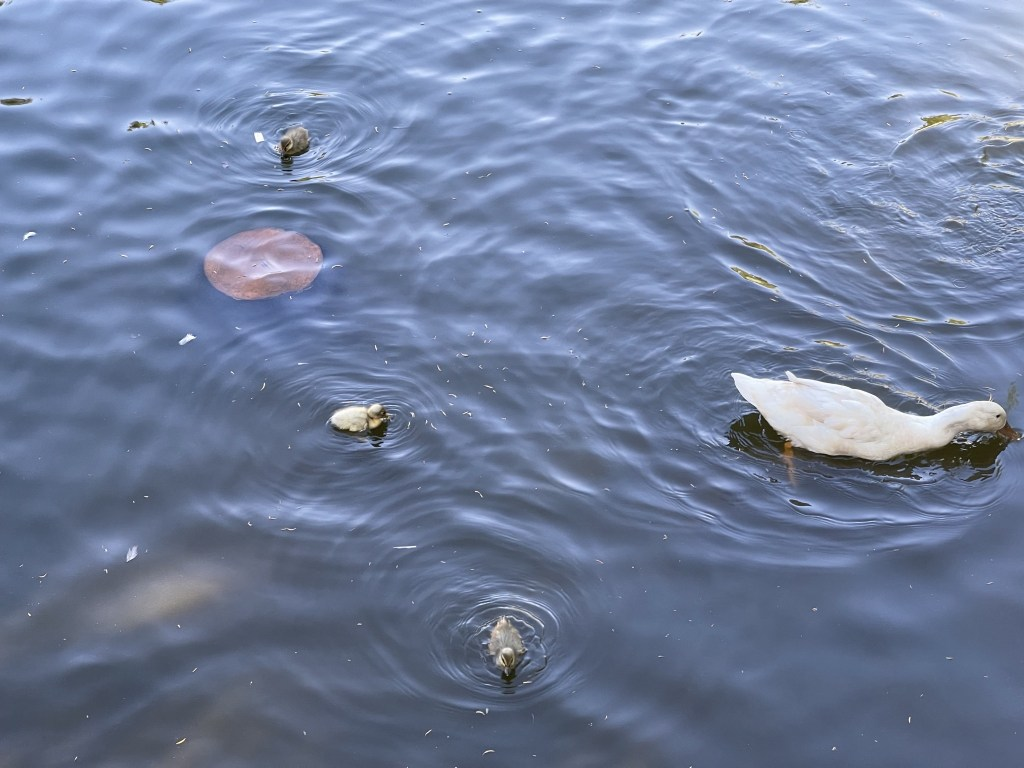 Ducks and ducklings with mealworm treats