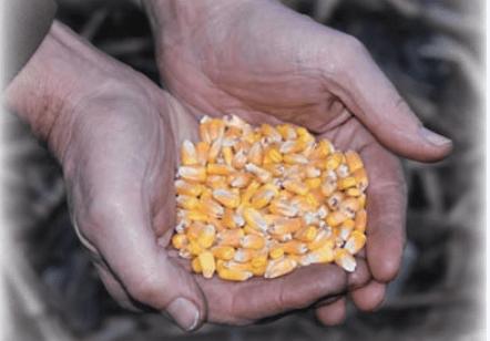 gift of grain