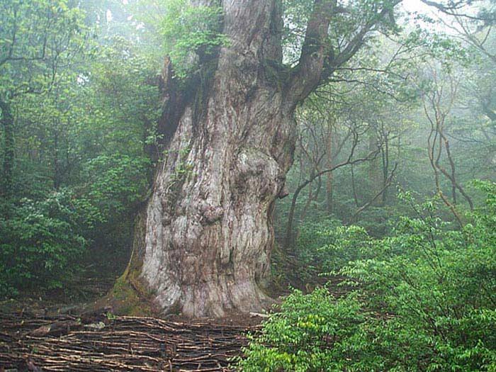 ηλικία των δέντρων που χρονολογούνται από τον άνθρακα
