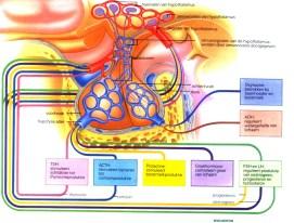 hypofyse1groot