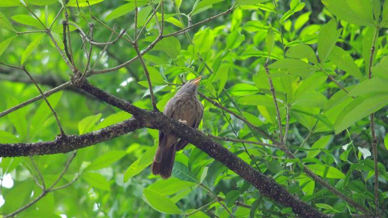 Common Babbler bird at salim ali bird sanctury, Thattekkad Bird Sanctuary-Thattekad Bird Sanctuary