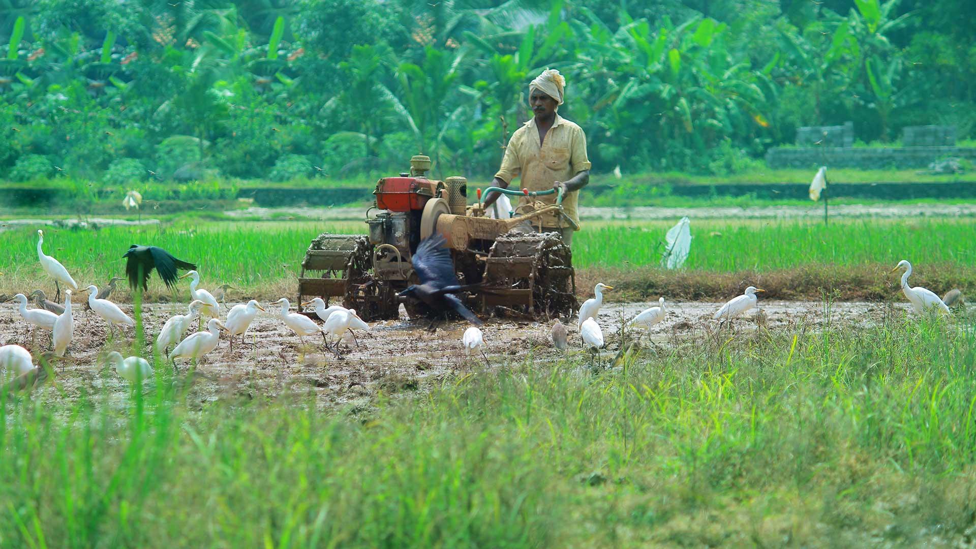 Adat Kole Wetland and Paddy Fields - farmer push tiller