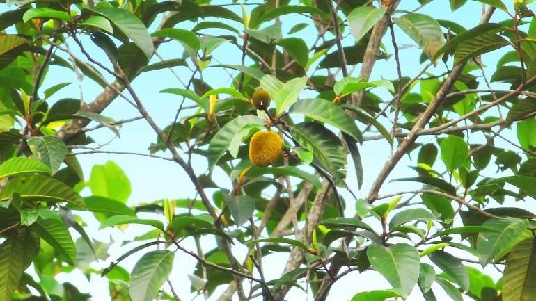 Anjili-Chakka-Artocarpus-Hirsutus-Fruit-Kerala, Anjili Tree