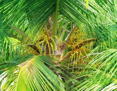 Coconut Tree-Kerala, Coconut Tree