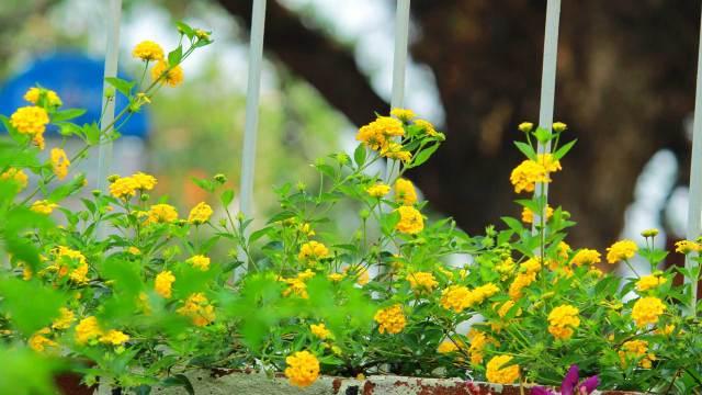 Folklore-Cultural-Theatre-Fort-Kochi-Garden-Flowers, Folklore Cultural Theatre