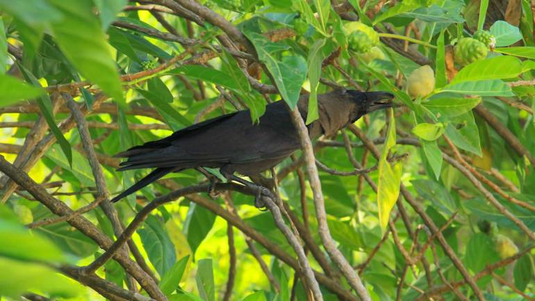 House-Crow_Kerala