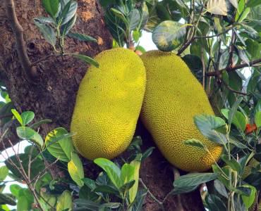 Jack Fruit, Varikka Chakka , Chakka, Official Fruit of Kerala