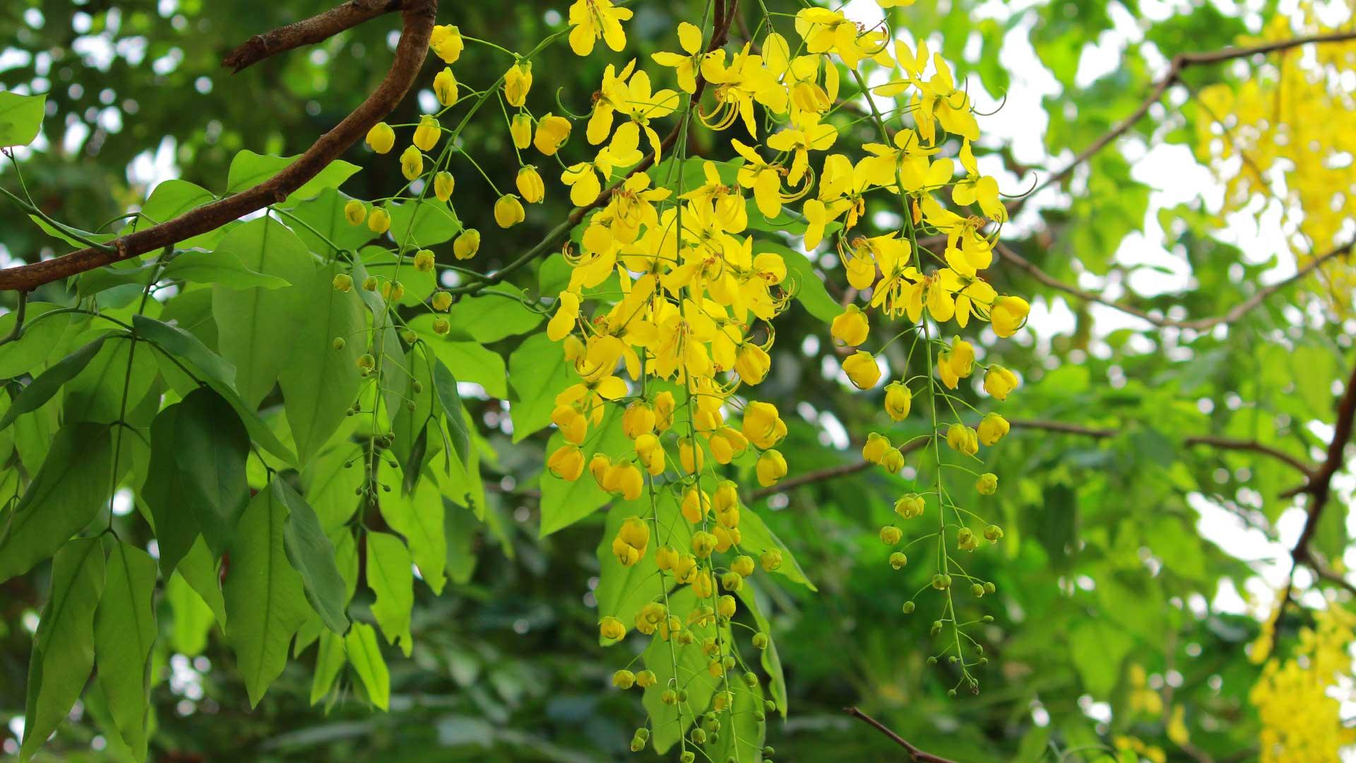 Kanikkonna-Flower for Vishu Festival - Kerala-Golden-Rain-Flower-Cassia-fistula-Flowers, Flowers Kerala