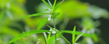 Leucas-Zeylanica-Thumba Poovu-Onam-Flower-Flowers-of-Kerala, Thumba Flower